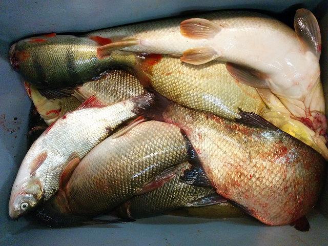 Donaufische